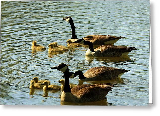 Canada Geese Families Greeting Card by Mark Codington