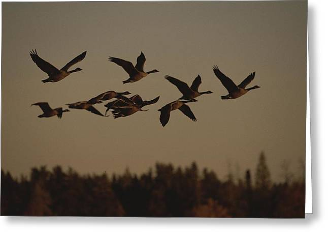 Canada Geese Fly In A Group Greeting Card by Raymond Gehman