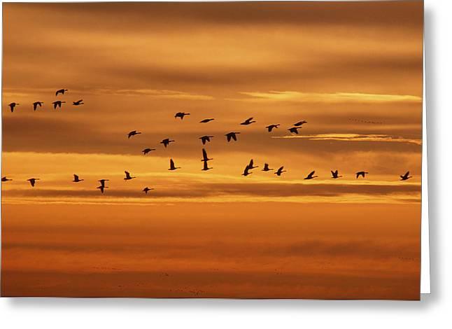 Canada Geese, Oak Hammock Marsh Greeting Card by Mike Grandmailson