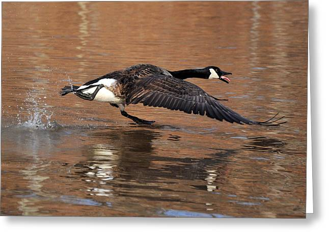 Canada Goose Above Pond - C0174d Greeting Card by Paul Lyndon Phillips
