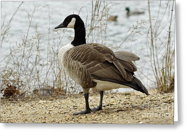 Canada Goose Greeting Card by Denise Pohl