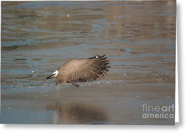 Greeting Card featuring the photograph Canada Goose In Flight by Mark McReynolds