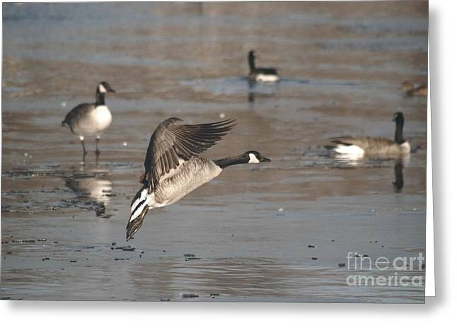 Greeting Card featuring the photograph Canada Goose In Mid-flight by Mark McReynolds