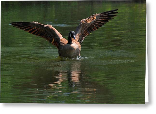 Canada Goose In Morning Light - C1715g Greeting Card by Paul Lyndon Phillips
