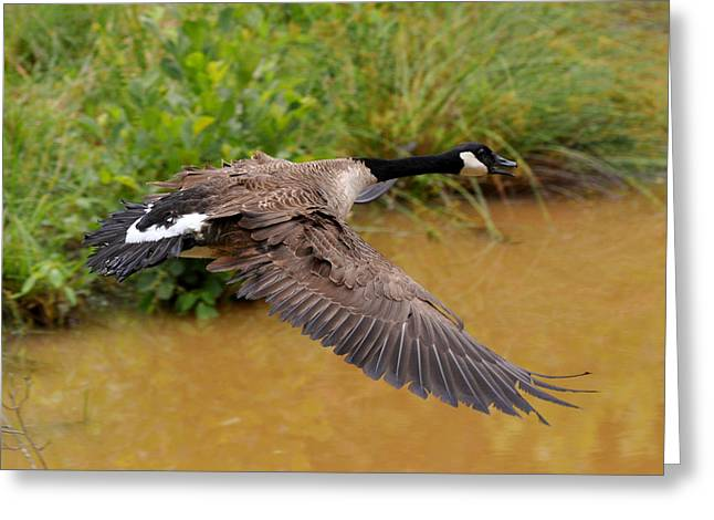 Canada Goose Landing - C4556b  Greeting Card by Paul Lyndon Phillips