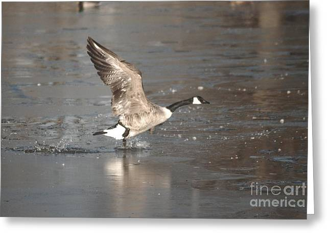 Greeting Card featuring the photograph Canada Goose Taking Off by Mark McReynolds