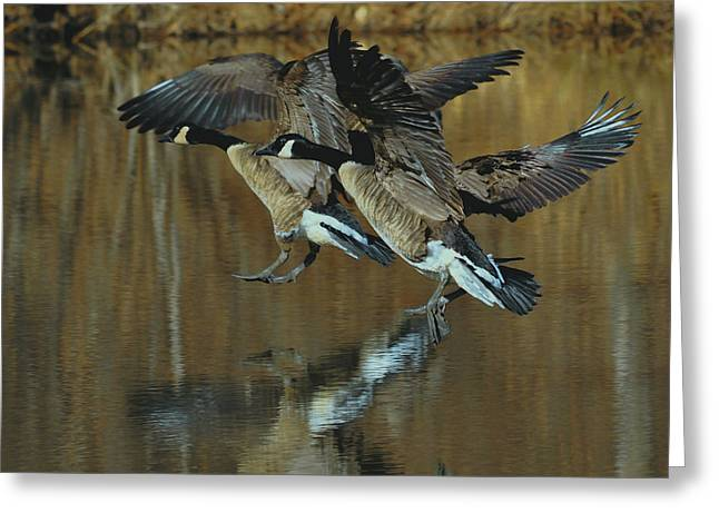 Canada Goose Trio Landing - C0843m Greeting Card by Paul Lyndon Phillips