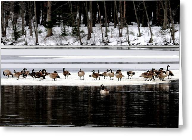 Canadian Gees At Farrington Lake Greeting Card