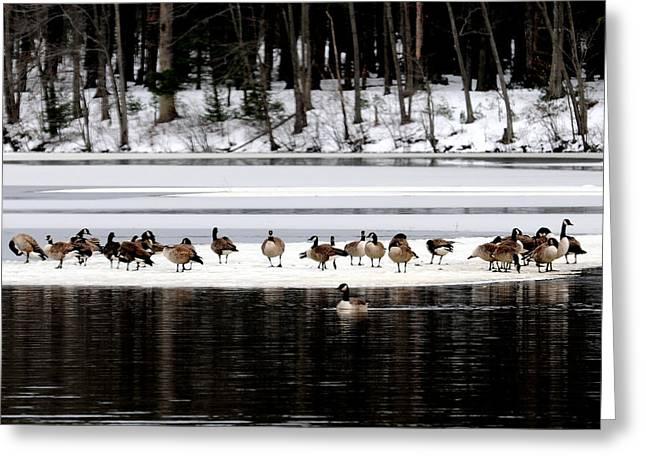 Canadian Gees At Farrington Lake Greeting Card