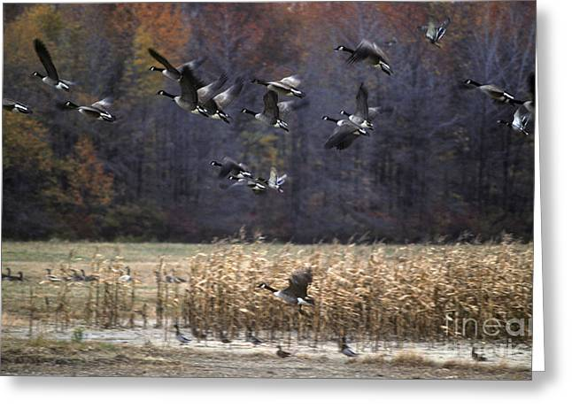 Greeting Card featuring the photograph Canadian Geese In Flight by Craig Lovell