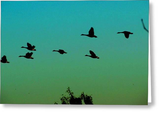 Canadian Geese In Flight Greeting Card by David Killian