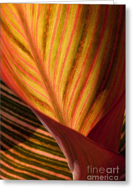 Canna Greeting Card by Annette Weiner
