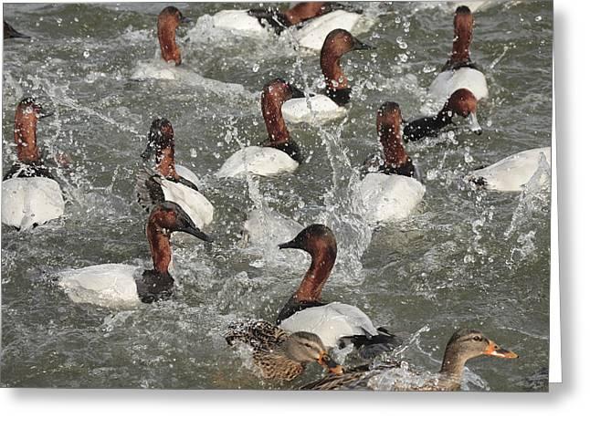 Canvasback Ducks In A Feeding Frenzy Greeting Card by George Grall
