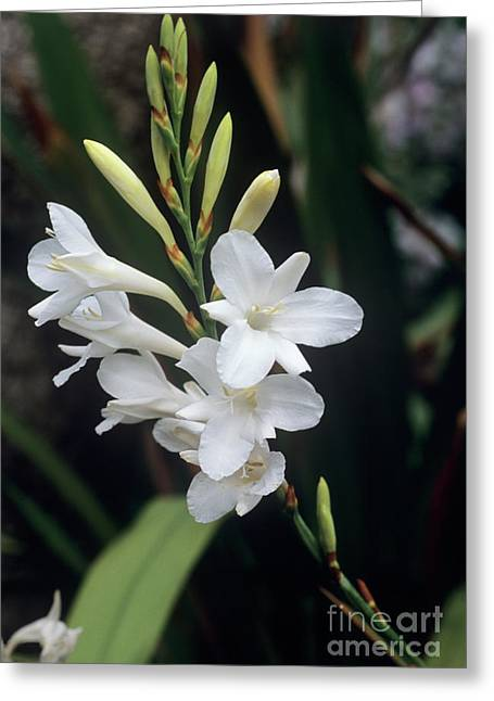 Cape Bugle-lily 'arderne's White' Greeting Card