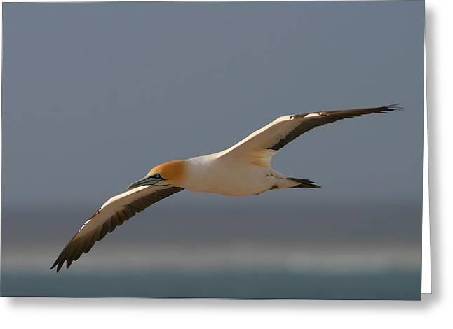 Cape Gannet In Flight Greeting Card by Bruce J Robinson