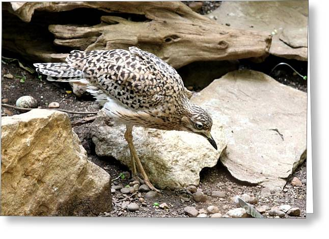 Cape Thick Knee Greeting Card