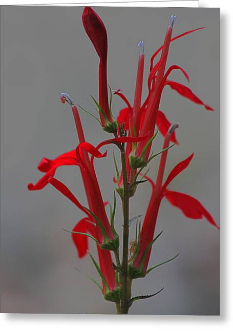 Cardinal Flower Greeting Card