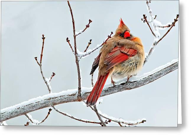 Cardinal I The Snow  Greeting Card