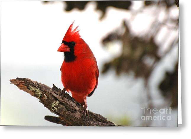 Cardinal In Hawaii Greeting Card