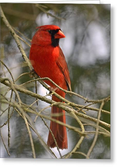 Cardinal In Spruce Greeting Card