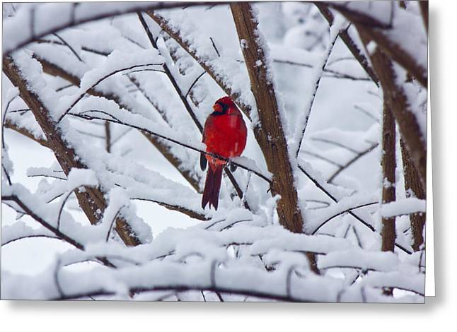 Cardinal In The Snow 2 Greeting Card by Barry Jones