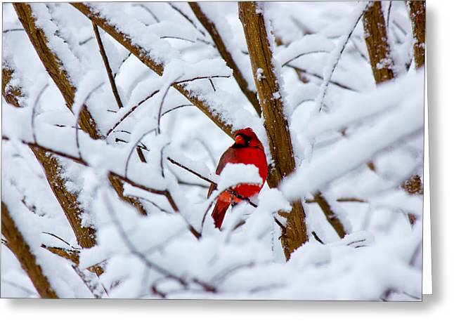 Cardinal In The Snow Greeting Card by Barry Jones