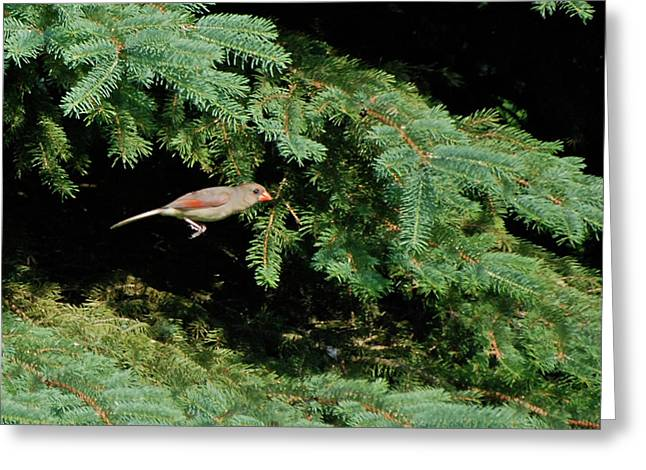 Greeting Card featuring the photograph Cardinal Just A Hop Away by Thomas Woolworth