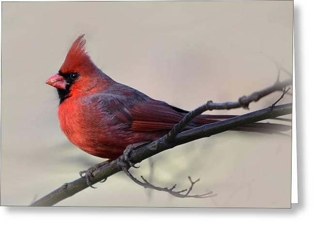 Cardinal On Gray Greeting Card