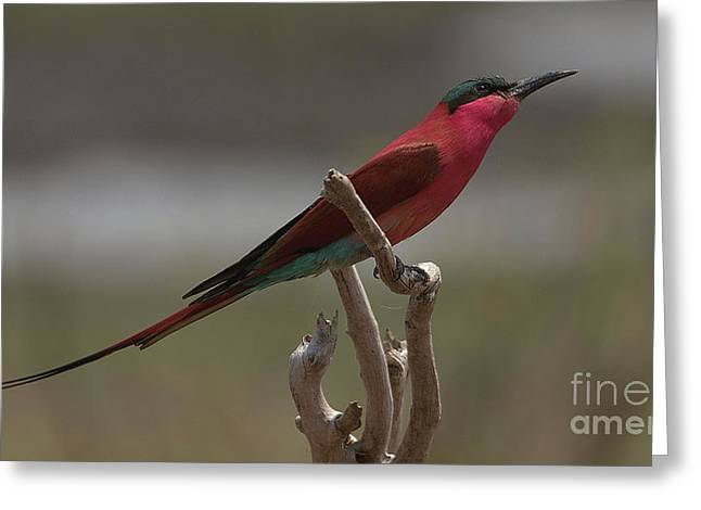 Carmine Bee-eater Greeting Card