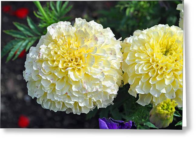 Carnations Greeting Card by Tikvah's Hope