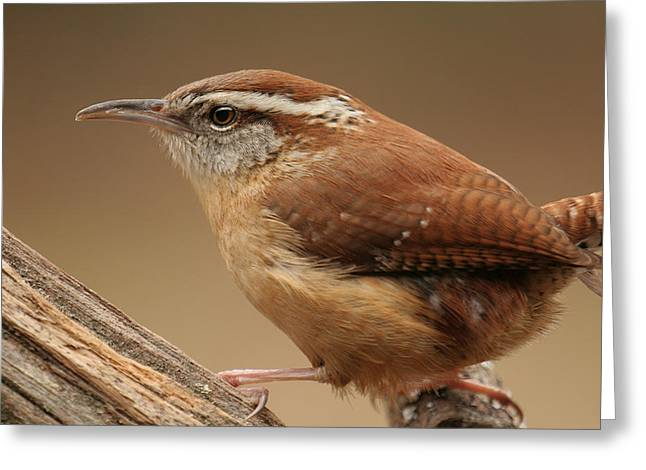Greeting Card featuring the photograph Carolina Wren by Daniel Reed