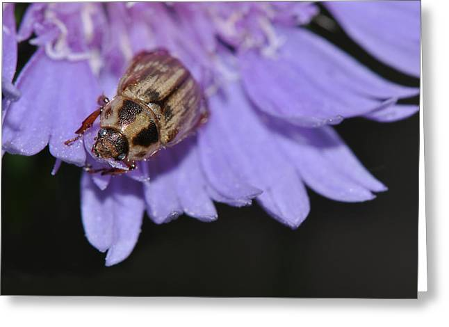 Carpet Beetle On Stokes Aster Greeting Card