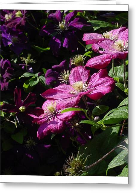 Greeting Card featuring the photograph Cascading Rose by Frank Wickham