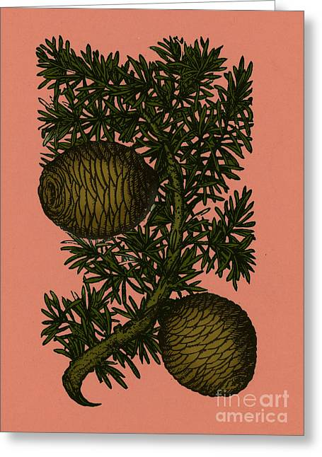 Cassia Tree, Alchemy Plant Greeting Card by Photo Researchers