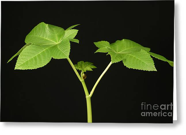 Castor Bean Plant Greeting Card