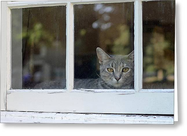 Cat In The Window Greeting Card by Lisa Phillips
