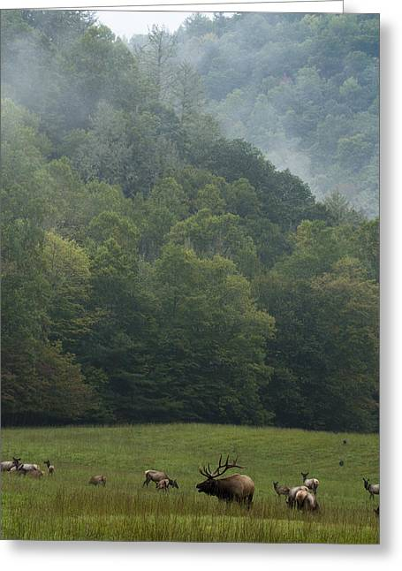 Greeting Card featuring the photograph Cataloochee Elk by Carrie Cranwill