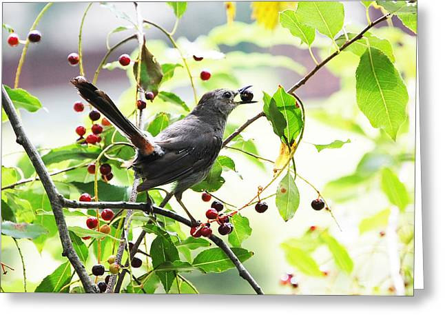 Catbird With Berry II Greeting Card