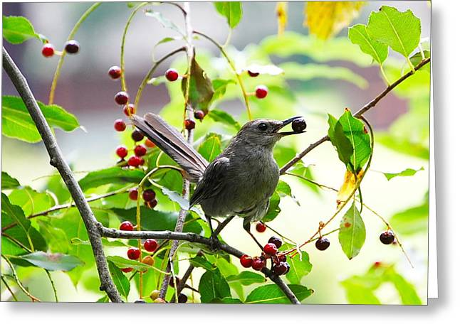 Catbird With Berry IIi Greeting Card