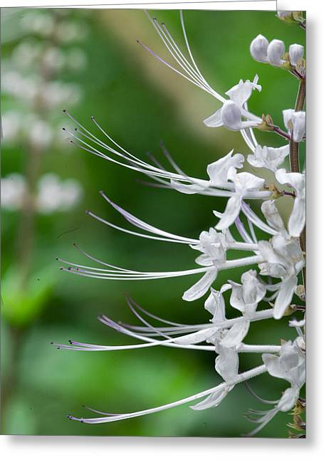 Cat's Whiskers Flowers Greeting Card