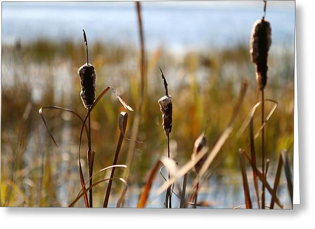 Cattails Greeting Card by Brady D Hebert