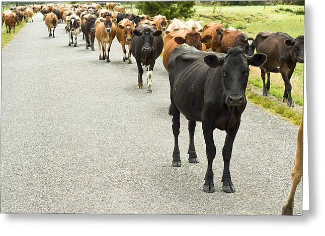 Cattle Drive On A Road  Greeting Card