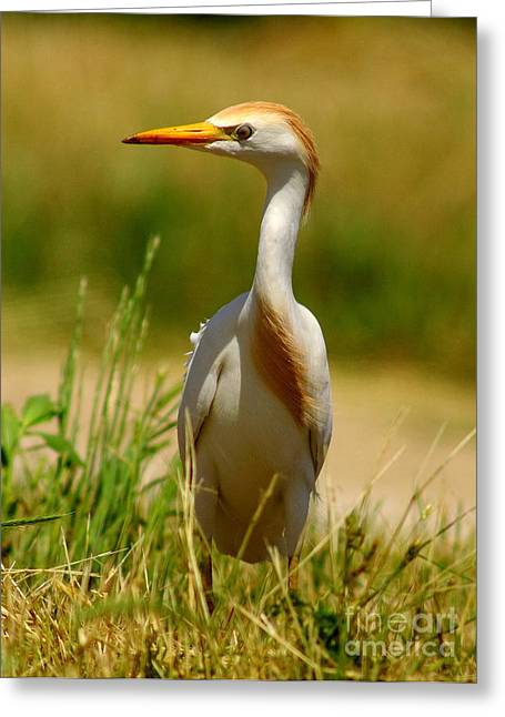 Cattle Egret With Closed Eyelid Greeting Card by Robert Frederick
