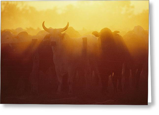 Cattle Gather At A Watering Hole Greeting Card by Medford Taylor