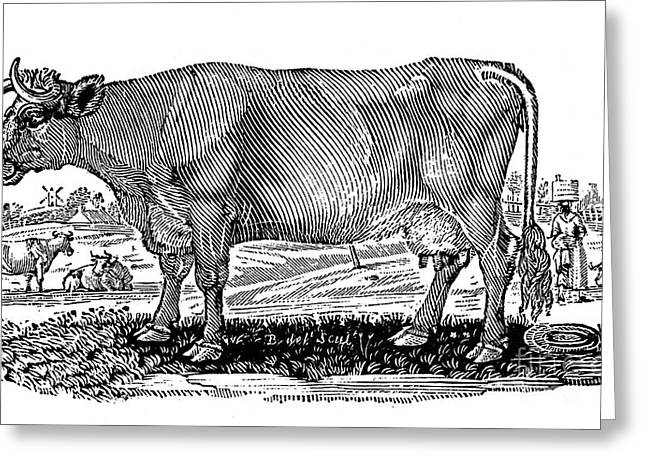 Cattle Greeting Card by Granger