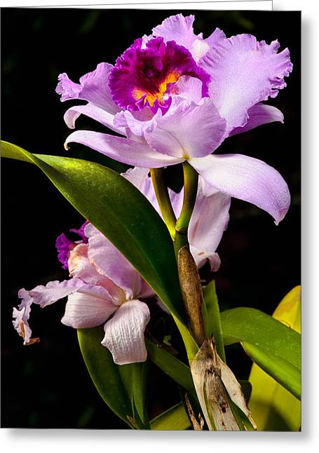 Cattleya Greeting Card by Christopher Holmes