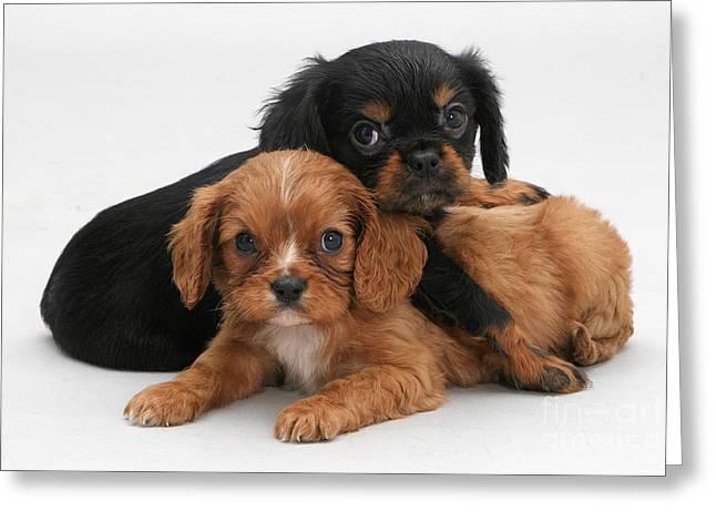 Cavalier King Charles Spaniel Puppies Greeting Card by Jane Burton