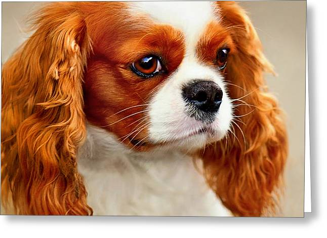 Cavalier Spaniel  Greeting Card by Dorothy Walker