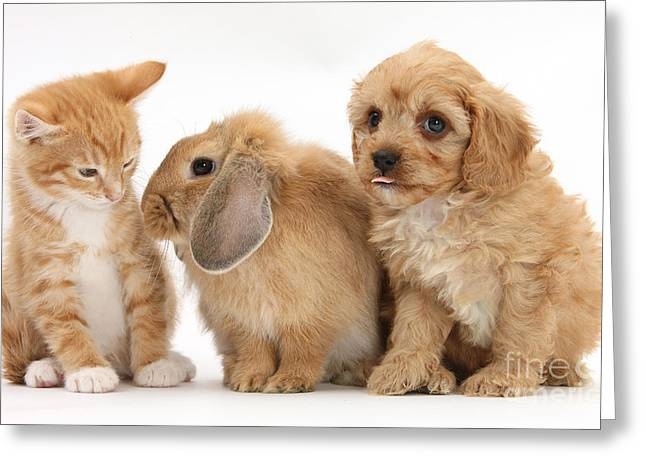Cavapoo Pup, Rabbit And Ginger Kitten Greeting Card by Mark Taylor