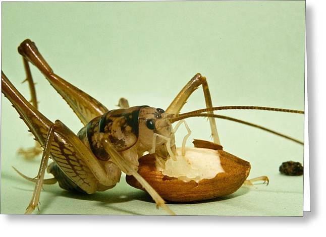 Cave Cricket Feeding On Almond 8 Greeting Card by Douglas Barnett